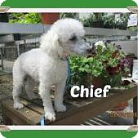 Adopt A Pet :: Chief - Shawnee Mission, KS