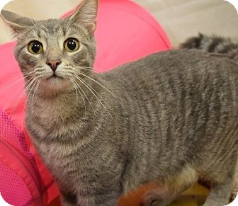 Domestic Shorthair Kitten for adoption in Hillside, Illinois - Raj-10 MONTHS & TALKATIVE
