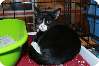 Domestic Shorthair Kitten for adoption in Rochester, Minnesota - Lawrence