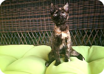 Domestic Shorthair Kitten for adoption in Bend, Oregon - Molly