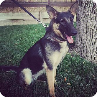 German Shepherd Dog Mix Dog for adoption in Concord, California - Elsi