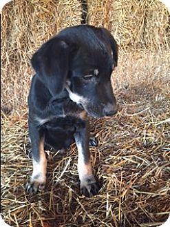 Labrador Retriever/German Shepherd Dog Mix Puppy for adoption in Bedminster, New Jersey - Brady