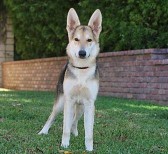 German Shepherd Dog Mix Dog for adoption in San Diego, California - Tipper