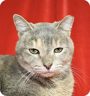 Domestic Shorthair Cat for adoption in Jackson, Michigan - Tami