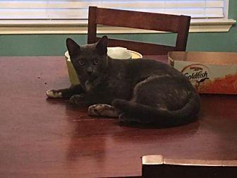 Domestic Mediumhair Cat for adoption in Spring, Texas - Blue