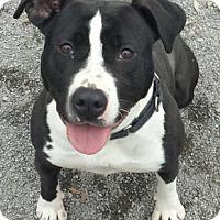 Pit Bull Terrier Mix Dog for adoption in Spring City, Pennsylvania - Boston