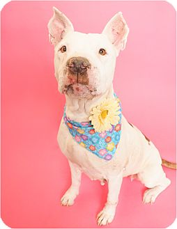 American Pit Bull Terrier/American Staffordshire Terrier Mix Dog for adoption in Phoenix, Arizona - Indy