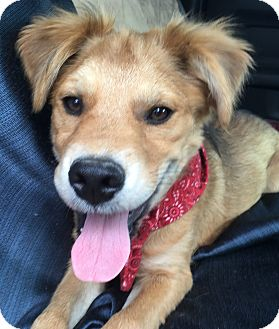Shepherd (Unknown Type) Mix Puppy for adoption in Spring, Texas - scruffy