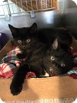 Domestic Shorthair Kitten for adoption in Broadway, New Jersey - Shadowmere