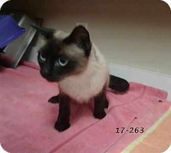 Siamese Cat for adoption in Cannelton, Indiana - 17-263