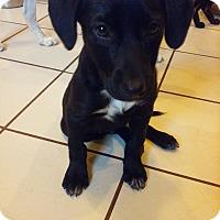 Adopt A Pet :: Linguine~meet me` - Glastonbury, CT
