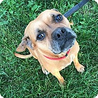 Boxer Mix Dog for adoption in Salamanca, New York - Aurora
