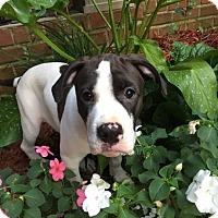 Adopt A Pet :: Evey Parker - Alpharetta, GA