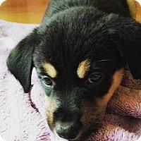 Adopt A Pet :: Colleen - MCLEAN, VA