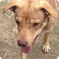 Shepherd (Unknown Type)/Labrador Retriever Mix Dog for adoption in Hartford, Connecticut - Della