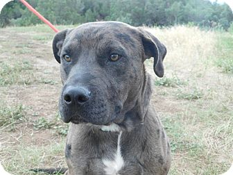 Pit Bull Terrier Mix Dog for adoption in Ridgway, Colorado - Woodstock