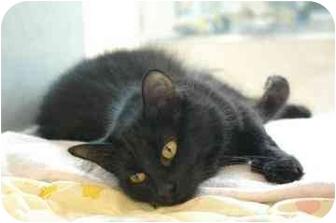 Domestic Longhair Cat for adoption in Walker, Michigan - Jaguar