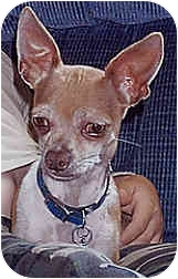 Chihuahua Dog for adoption in Owatonna, Minnesota - Harley