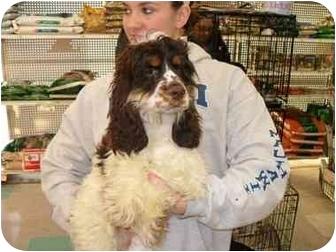 Cocker Spaniel Puppy for adoption in Lonedell, Missouri - Shiloh