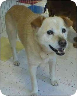 Labrador Retriever/Chihuahua Mix Dog for adoption in Poway, California - ROCKY