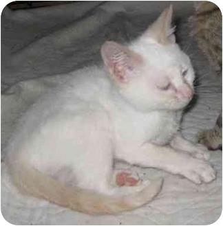 Ragdoll Kitten for adoption in Dallas, Texas - Miles