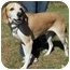 Photo 4 - Labrador Retriever/Hound (Unknown Type) Mix Dog for adoption in North Judson, Indiana - Uncle Joe