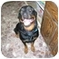 Photo 1 - Rottweiler Dog for adoption in Slippery Rock, Pennsylvania - Peter