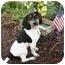 Photo 2 - Beagle/Blue Heeler Mix Dog for adoption in Broomfield, Colorado - Liberty