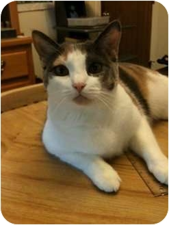 Calico Cat for adoption in San Angelo, Texas - Colores