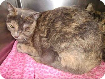 Domestic Shorthair Cat for adoption in Yuba City, California - *Chloe *URGENT!*