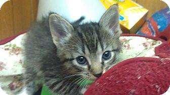 Domestic Mediumhair Kitten for adoption in DFW, Texas - Baby Kitty