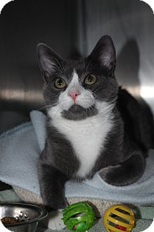 Domestic Shorthair Cat for adoption in North Branford, Connecticut - Whisper