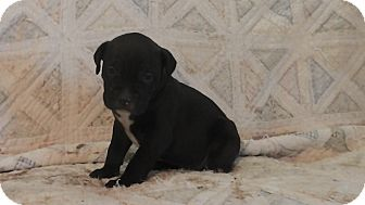 Pit Bull Terrier Mix Puppy for adoption in Salem, Oregon - Ruger