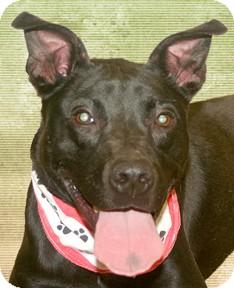 Labrador Retriever Mix Dog for adoption in Cincinnati, Ohio - Garlan