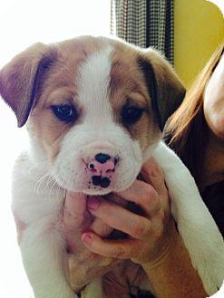 Border Collie/Australian Shepherd Mix Puppy for adoption in Hockessin, Delaware - Pink
