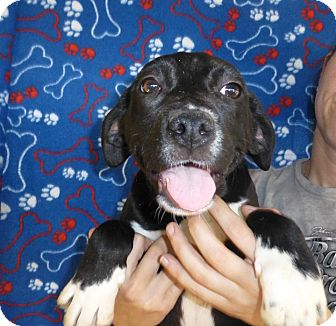 Mastiff/Labrador Retriever Mix Puppy for adoption in Oviedo, Florida - Toba