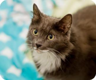 Domestic Shorthair Cat for adoption in Lowell, Massachusetts - Chester