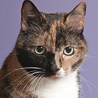 Calico Cat for adoption in Chicago, Illinois - Mary