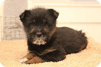 Chow Chow/Labrador Retriever Mix Puppy for adoption in Allentown, Pennsylvania - Leia