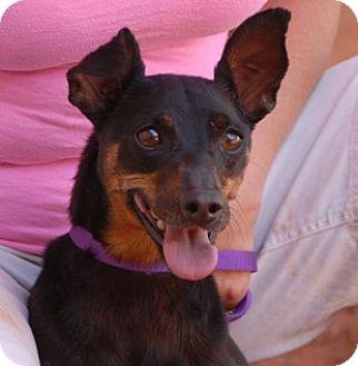 Miniature Pinscher Mix Dog for adoption in Las Vegas, Nevada - Alice
