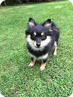 Pomeranian Puppy for adoption in Richmond, Virginia - Heidi