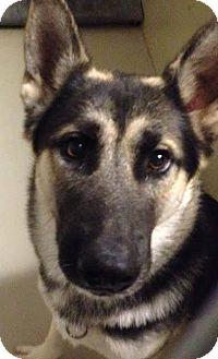 German Shepherd Dog Dog for adoption in Westminster, California - Baby