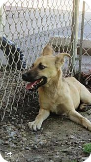 Shepherd (Unknown Type) Mix Dog for adoption in Barnegat, New Jersey - Max