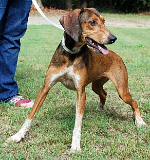 Hound (Unknown Type) Mix Dog for adoption in Barnwell, South Carolina - Allie