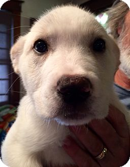 Great Pyrenees/German Shepherd Dog Mix Puppy for adoption in waterbury, Connecticut - Hope