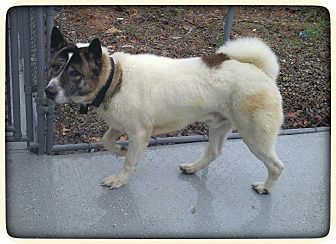 Akita Dog for adoption in oxford, New Jersey - Max