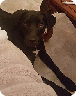Labrador Retriever Mix Dog for adoption in Nashville, Tennessee - Violet