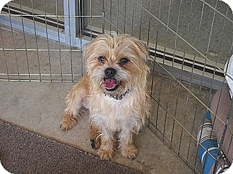 Brussels Griffon/Terrier (Unknown Type, Medium) Mix Dog for adoption in Edmond, Oklahoma - Charley