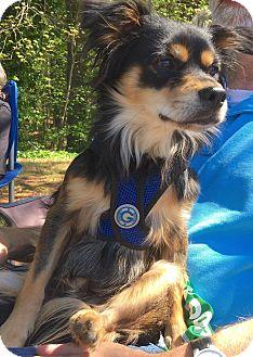 Papillon/Chihuahua Mix Dog for adoption in CUMMING, Georgia - Buddy