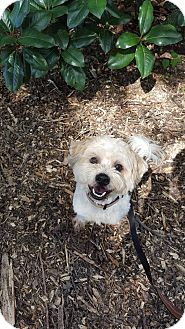 Poodle (Miniature)/Shih Tzu Mix Dog for adoption in Alpharetta, Georgia - Bradley